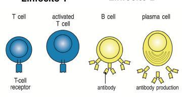 Inmunología General Seminario 1 segunda parte